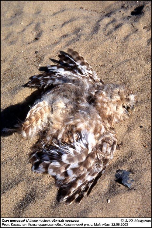 SHUMKAR.RU - Галерея - А.Ю. Мишустин, птицы - Сыч домовый, фото 17-17.